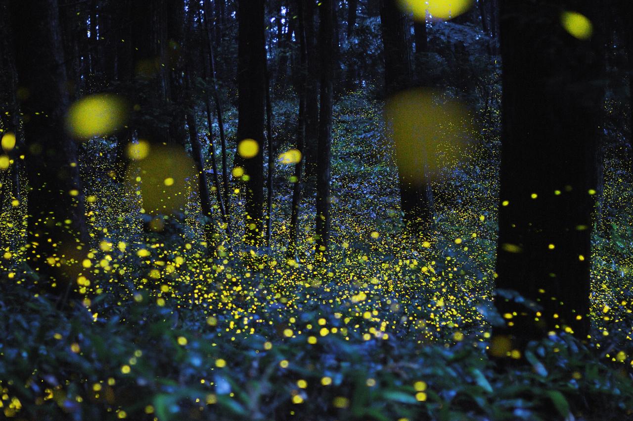 Una vista dentro del santuario de las luciérnagas